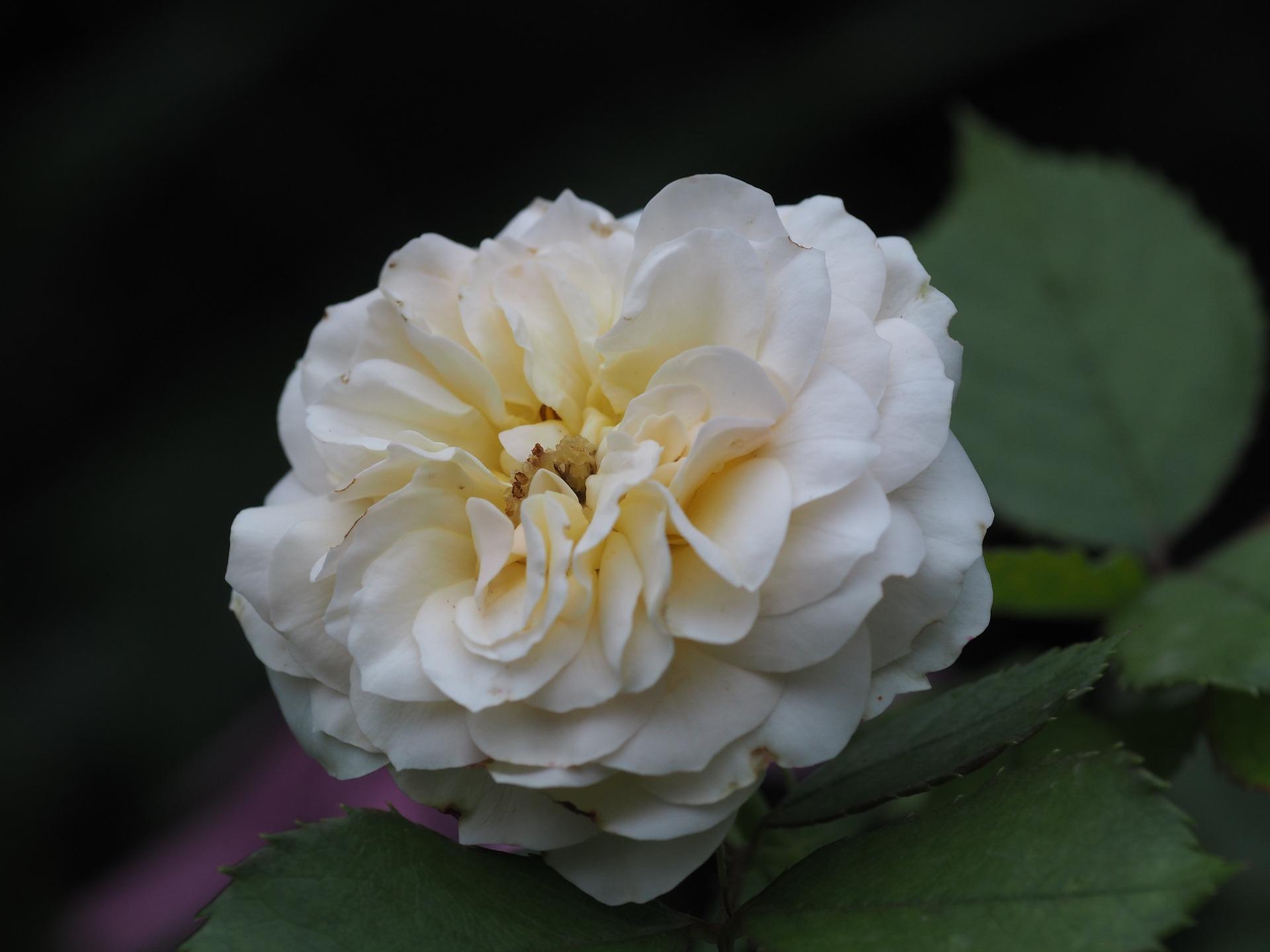 biały kwiat na cmentarzu